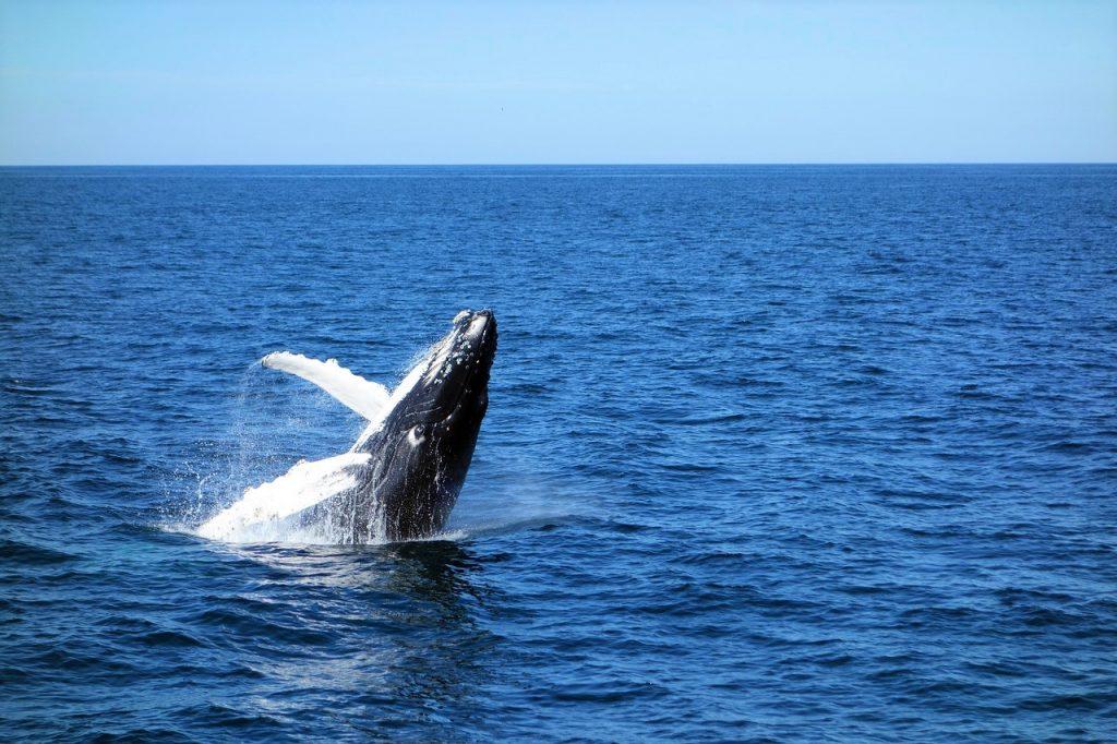 whale watching kangaroo island