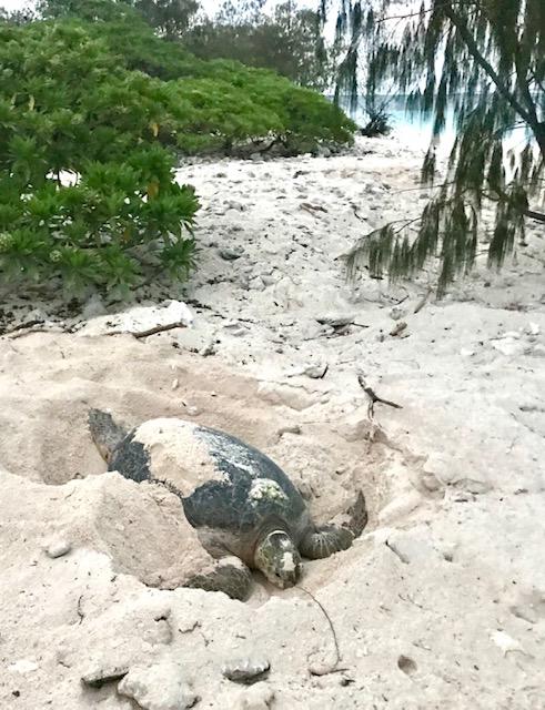 wilson island turtle