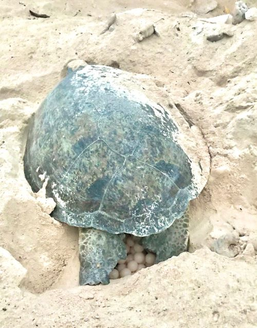 wilson island turtle laying