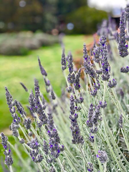 lavender on Kangaroo island
